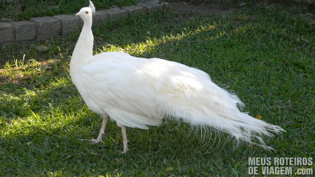 Pavão Branco no Zoológico de Balneário Camboriú