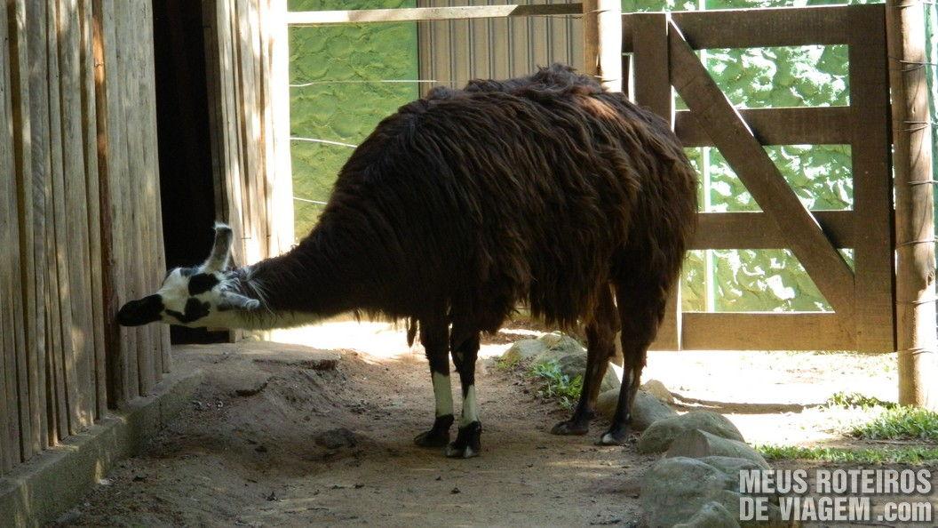 Lhama no Zoológico de Balneário Camboriú
