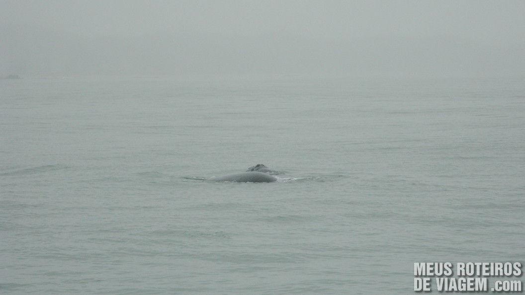 Baleia na praia central de Balneário Camboriú