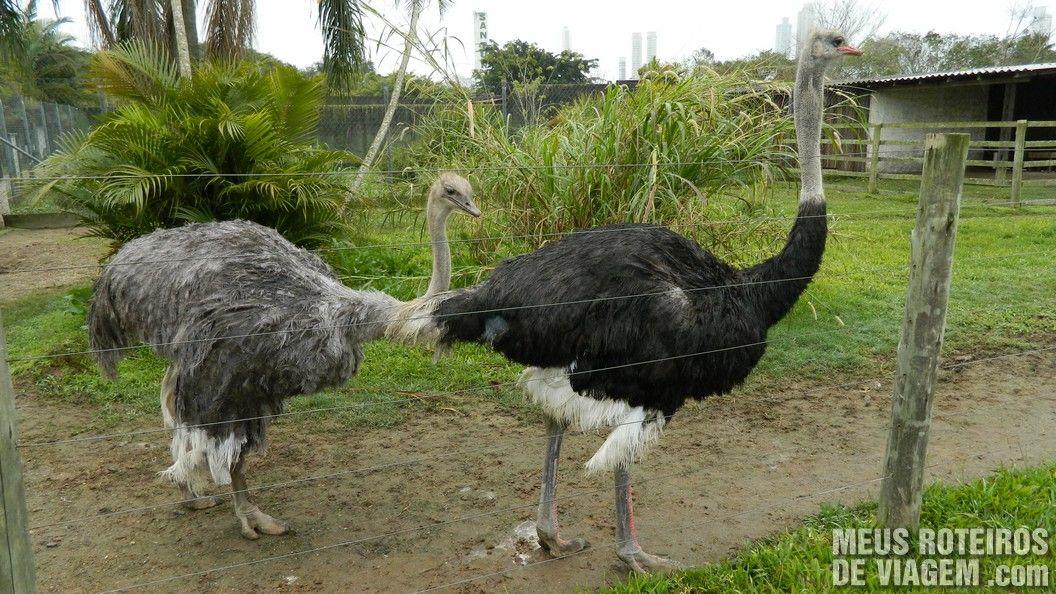 Avestruzes no Zôo da Santur - Balneário Camboriú