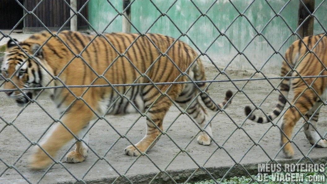 Tigres no Zôo da Santur - Balneário Camboriú