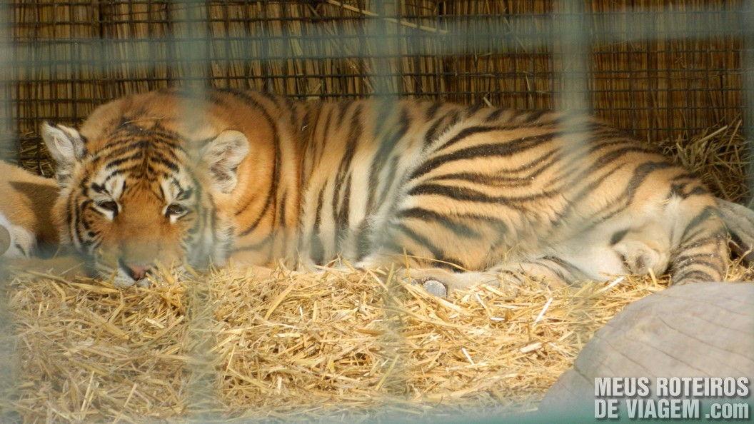 Tigre no Zoo Lujan - Buenos Aires