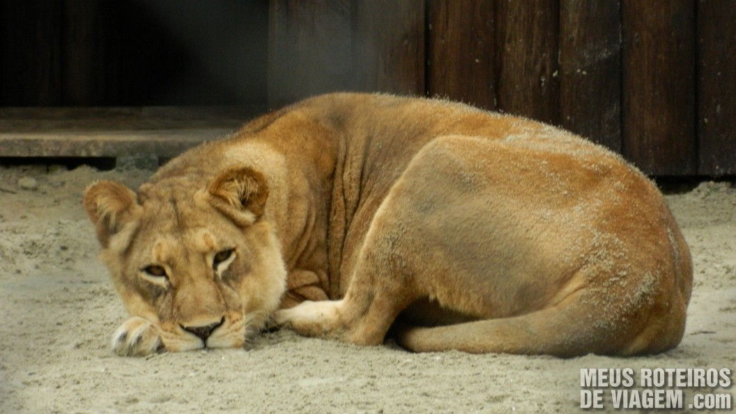 Leão no Zoo de Balneário Camboriú