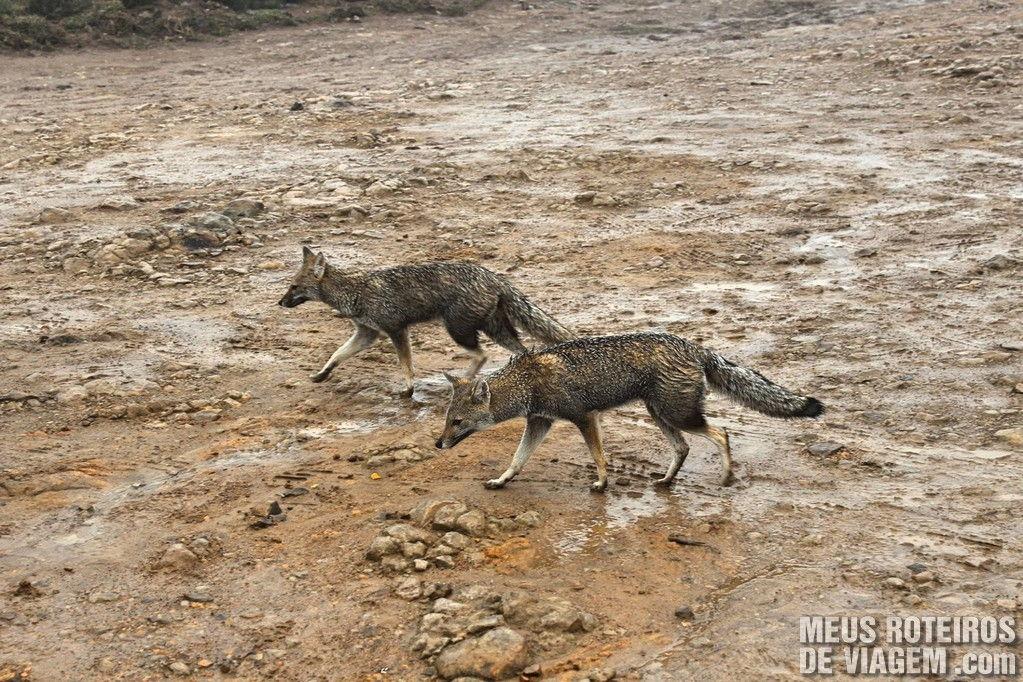 Graxains são mamíferos da família dos canídeos, semelhantes a raposas