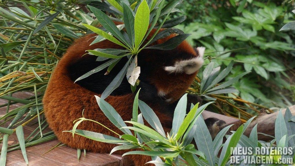Panda-Vermelho no Ocean Park, Hong Kong